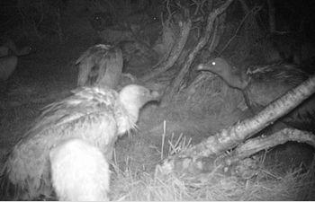 Investigadores del IREC registran por primera vez en el mundo buitres leonados alimentándose de noche
