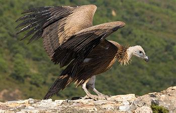 El Buitre Leonado es una de las 68 especies de aves localizadas en este Parque Natural.