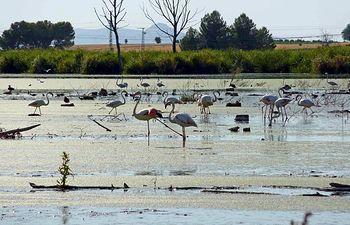 Varios flamencos en la Laguna de Navaseca localizada a pocos kilómetros del Parque Nacional de Las Tablas de Daimiel (Ciudad Real). Técnicos de agricultura y medio ambiente de Castilla-La Mancha trabajan desde hace unos días en la recogida de ejemplares de aves muertas que han comenzado a encontrar en la Laguna de Navaseca. La Laguna recoge las aguas depuradas procedentes de la Estación de Aguas Residuales de Daimiel y en los últimos años se ha convertido, ante la ausencia de agua en el Parque Nacional de L