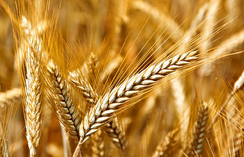 El Ministerio de Agricultura, Alimentación y Medio Ambiente analiza con los sectores la situación del mercado de los cereales, oleaginosas, proteaginosas y leguminosas. Foto: Ministerio de Agricultura, Alimentación y Medio Ambiente