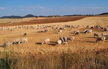 El Cordero Manchego se ha abierto un importante hueco en los mercados españoles por la gran calidad de su carne