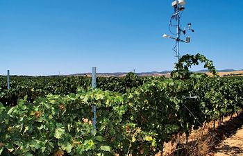 Los viñedos de la Región tienen un altísimo valor ecológico y medioambiental, habiéndose realizado un gran esfuerzo en mejorarlos tecnológicamente. Foto: Viñedos Pago del Vicario.