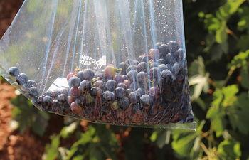 Los viñedos DO La Mancha a las puertas de una vendimia más corta y de excelente calidad.