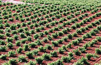Viñedos. Foto: Cooperativas Agro-alimentarias.