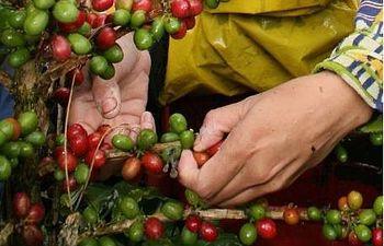 Cosecha de café en Colombia. EFE