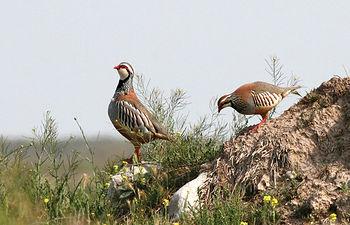 Perdices rojas, joyas de la caza menor en Castilla-La Mancha.