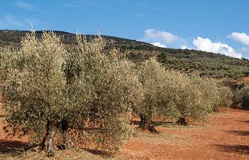 Uno de los proyectos del ganadero que pronto verán la luz es una almazara para producir aceite ecológico. Foto: Olivos.