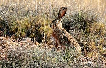 """En la modalidad de caza """"en mano"""" o """"a la mano"""", las especies más cotizadas son el conejo, la liebre, la perdiz y la codorniz. En la foto, una liebre ojea el horizonte ¡algo recelosa!."""