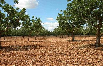 Plantación de pistachos.