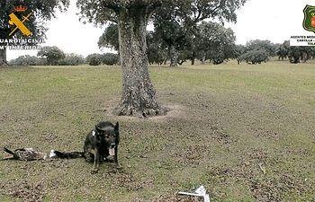 Investigan a una persona por envenenamiento de fauna protegida en Oropesa (Toledo).
