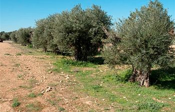Olivos Dehesa de Los Llanos.