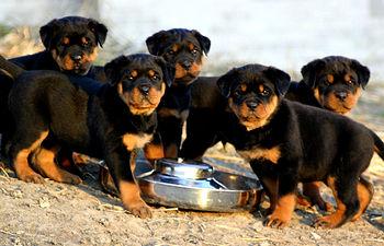 Cachorros de perro. Foto de Archivo.