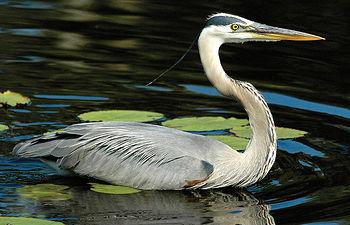 Entre otras muchas aves acuáticas, en el Parque de las Tablas de Daimiel destaca la garza real.