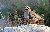 La Perdiz Roja es la reina de la caza menor en Castilla-La Mancha.