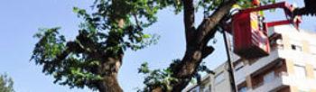 Han comenzado las labores de tala del árbol centenario ubicado a la entrada del Parque de Gasset. El alto grado de pudrición hacía peligrar su estabilidad
