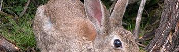 El conejo de monte es una especie nativa de países mediterráneos. Foto de Antonio Castro.