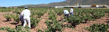 La vendimia se generaliza para las variedades tempranas en La Mancha.