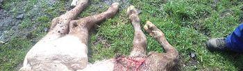 Un mismo ganadero de la Sierra, víctima de varios ataques en un mes. Foto: ASAJA CLM.