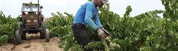 Trabajador vendimiando. (EFE). Foto: EFE.