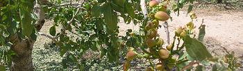 Finaliza el periodo de contratación del Seguro de pedrisco en almendro, pistacho y nogal