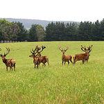 Según los estudios realizados, los ciervos más fértiles generan una mayor proporción de machos en su descendencia.