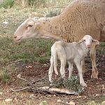 El lechal manchego procede de corderos de Raza Manchega, alimentado exclusivamente con leche materna.