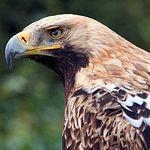Águila Imperial, una de las especies protegidas que podemos ver en la provincia de Albacete.