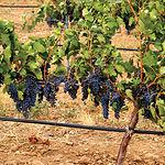 Castilla-La Mancha es el mayor viñedo del mundo con más de 500.000 hectáreas.