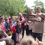 Busardo Ratonero en el Centro Provincial de Educación Ambiental de Albacete