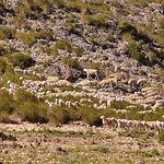 La oveja manchega se explota en pastoreo todo el año, aprovechando los recursos naturales de la zona de La Mancha.