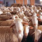En la actualidad, la cabaña ganadera está formada por  5.000 ovejas adultas y 1.200 corderas de reposición.