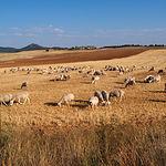 Ovejas de raza manchega pastando en la provincia de Albacete.