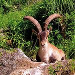 La caza mayor es abundante en la Serranía de Cuenca. Foto: Cabra Montés.