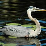 En época de migración pasan por el Complejo Lagunar un gran número de especies para alimentarse y descansar.
