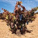 Desde los íberos hasta los visigodos, pasando por los fenicios, griegos y romanos, el vino ha sido el fruto de esta tierra.