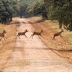 La caza es muy importante en la gestión del medio natural. Foto: Ciervos jóvenes en la finca El Palomar (Albacete).