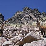 Con algunas excepciones, la caza de la cabra montés está prohibida en toda la provincia de Cuenca.