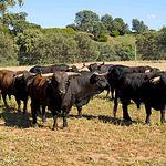 Toros de la ganadería de Samuel Flores en la finca de Povedilla, en Alcaraz (Albacete).
