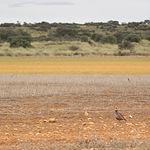 Perdíz Roja en Dehesa de Los Llanos