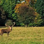 El ciervo, gracias a su cuerna, es el preciado trofeo que los cazadores más desean dentro de la caza mayor.
