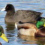 En el año 1988 las Lagunas de Ruidera fueron declaradas Zona de Especial Protección para las  Aves. En la imagen, unos ánades reales nadan junto a una focha en una de las lagunas.