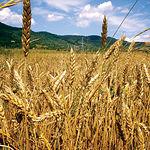 El trigo es uno de los cultivos empleados en España para la producción de bioetanol. Foto: Campos de trigo.
