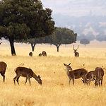 Muflón, jabalí, gamo y ciervo constituyen el grueso de los animales de caza mayor. Foto: Familia de ciervos en la finca.