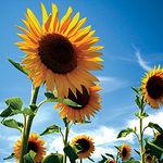 Para obtener biodiésel se necesitan cultivos que produzcan aceite, como el girasol y la colza. Foto: Campos de girasol.
