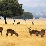 Dentro de los mamíferos se encuentran los ciervos, seña de identidad del Parque, pastando en las rañas, junto al gamo y el corzo.