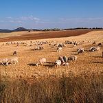 La carne amparada por la Indicación Geográfica Protegida Cordero Manchego procede únicamente de ovejas de raza Manchega.