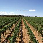 El viñedo de Dehesa de Los Llanos reúne una gran diversidad varietal.