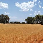 """En los dos últimos años las lluvias han revitalizado el mundo agrícola. Foto: Campos de cereales en la finca """"El Palomar""""."""