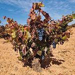 Las viñas dan al paisaje castellano-manchego un colorido y ambiente especial.
