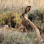 """En la modalidad de caza """"en mano"""" o """"a la mano"""", las especies más cotizadas son el conejo, la liebre, la perdiz y la codorniz."""
